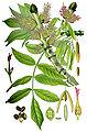 Illustration Fraxinus excelsior1.jpg