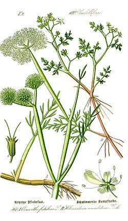 Illustration Oenanthe fistulosa0 clean.jpg