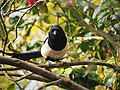 In the line of sight of a magpie.jpg