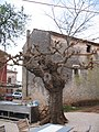 Incredibile albero doppio - panoramio.jpg