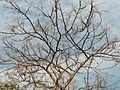 Indian Ash tree (3297717278).jpg