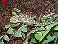 Indian Chameleon Chamaeleo zeylanicus SGNP by Raju Kasambe DSCF0251 (1) 01.jpg