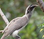 Indian Grey Hornbill I2 IMG 9029.jpg