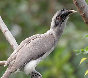 Indian grey hornbill - An individual with a shorter casque, possibly a juvenile or female