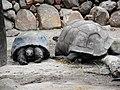 Indian tortoise at Hyderabad.jpg
