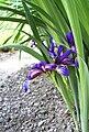 Iris graminea uskolisna perunika 0509.jpg