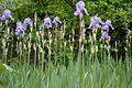Iris pallida massif.jpg
