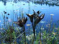 Iris versicolor seed pods, Kynoch.JPG