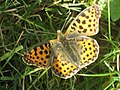 Issoria lathonia - Queen of Spain fritillary - Перламутровка полевая (41099966812).jpg