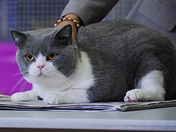 Un british shorthair bi-colore bleu et blanc