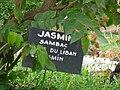 Jasminum multiflorum 0004.jpg