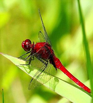 Jonycunha - dragonfly (by-sa)