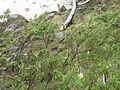 Juniperus communis alpina Banderitsa 1.jpg