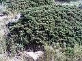 Juniperus communis subsp. phoenicia Habitus SierraNevada.jpg