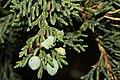 Juniperus maritima 3224.JPG