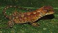 Juvenile female of Enyalioides azulae - ZooKeys-277-069-g004-E.jpg