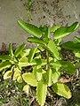 Kalanchoe pinnata Bryophyllum Thane Maharashtra DSCF7907 (1).JPG