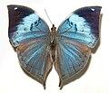 Kallima.philarchus ed.jpg