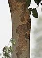 Kanju (Holoptelea integrifolia) trunk W IMG 1275.jpg