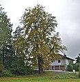 Kastanie in Eberschwang.jpg