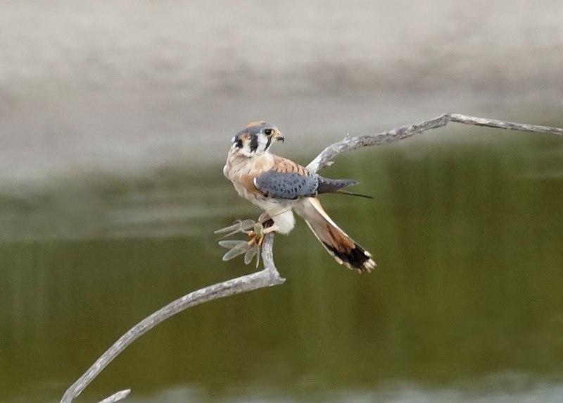 File:Kestrel with a dragon fly (15451125228).jpg