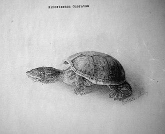 Sternotherus odoratus - Image: Kinosternon odoratum bw