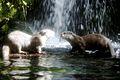 Kissing otters.jpg