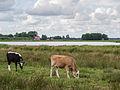 Koeien in de Alde Feanen 1.jpg