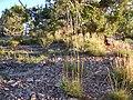 Koeleria macrantha (6244458370).jpg