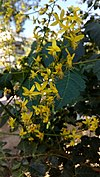 Koelreuteria elegans flowers - Άνθη Κοιλρεουτερίας η κομψή.jpg