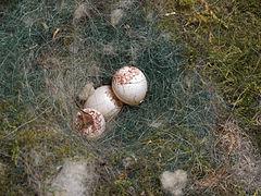 Kohlmeise Parus major Eier in Nest-Nistkasten-001.jpg