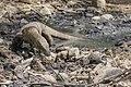 Komodo dragon (Varanus komodoensis) on Pulau Rindja - Indonesia 15.jpg