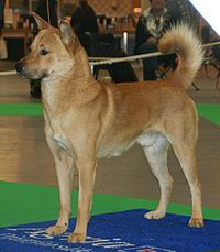 Korea Jindo Dog 2.jpg