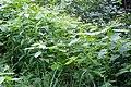 Korina 2017-08-12 Impatiens parviflora 4.jpg