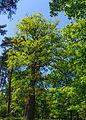 Kroezeboom (Konings Eik). Locatie, Kroondomein Het Loo 02.jpg