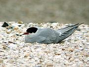 photographie d'une sterne probablement pendant la période de couvaison, l'oiseau est couché sur un sol couvert de débris de coquillages