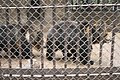 Kunming City Zoo Himalayan Brown Bears (9964701514).jpg