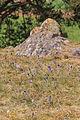 Kvetoucí koniklece v PP Kobylinec 18.jpg