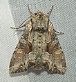 Lacanobia w-latinum Podgorje01.jpg