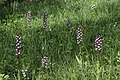 Lady Orchid - Orchis purpurea - panoramio (78).jpg
