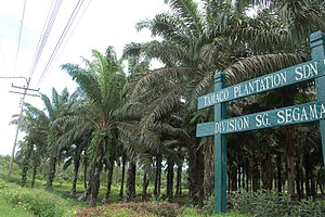 Lahad Datu - A palm oil plantation in Lahad Datu, palm oil has become the main economic source for the town.