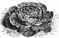 Laitue merveille des quatre saisons Vilmorin-Andrieux 1883.png
