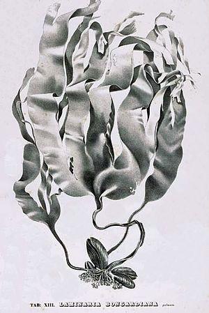 Alexander Postels - Laminaria bongardiana by Postels
