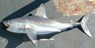 Porbeagle species of shark (Lamna nasus)