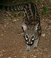 Large-spotted Genet (Genetta tigrina) (17366249152).jpg