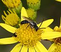Lasioglossum (Evylaeus) fratellum (male) on ragwort - Flickr - S. Rae.jpg