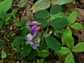 Lathyrus nevadensis 10034.JPG