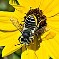 Leafcutter Bee (Megachile sp.) (5190457579).jpg
