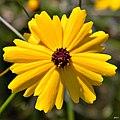Leavenworths tickseed (Coreopsis leavenworthii) (7161738412).jpg