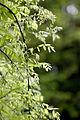 Leaves, Weeping Japanese pagoda tree - Flickr - nekonomania (4).jpg